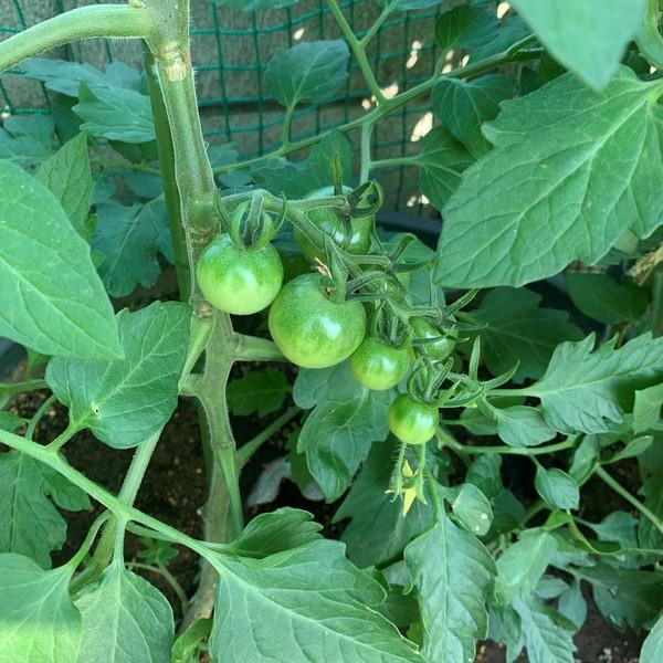 大きくなあれ♪キュウリとトマト